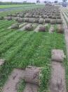 巴西地毯草 1