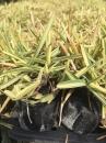 澳古斯丁草 1
