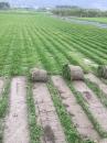 巴西地毯草