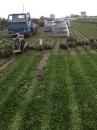 巴西地毯草買賣
