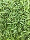 台北草草皮