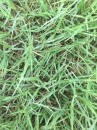(草子)百慕達草,草皮,種子。