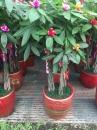 馬拉巴粒,發財樹