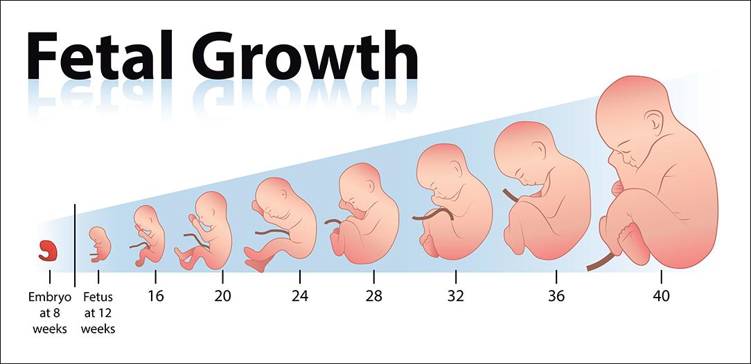 胎兒發育圖3.jpg