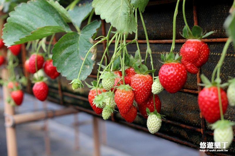 1.▲採草莓.jpg