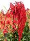 台灣紅藜.png