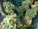楓葉天竺葵