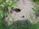 DSCF1010 紅火蟻巢穴