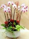蘭花組合盆栽 (9)