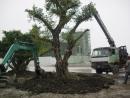 30年經驗專業移植榕樹