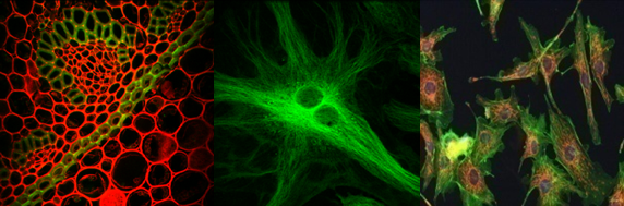 細胞螢光影像.png