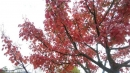 塔塔加的楓紅