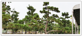 景觀樹木.png