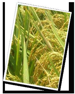 米食-麻糬1.png