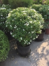 珍珠馬茶盆栽