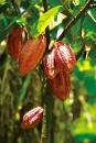 阿信巧克力農場-可可果