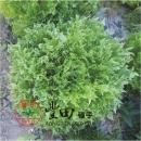 綠香火焰綠萵苣