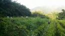 草生栽培 自然農法茶區