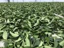 自然農法 草生栽培 日光萎凋