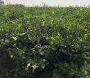 自然農法 草生栽培茶區
