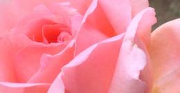 横浜市花「バラ」を育て、感謝と歓迎の気持ちを伝え合う文化を育みたい〜横浜ローズプロジェクト