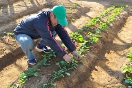 初収穫でパスタ