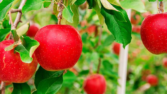 【理想の高さ診断】高いほど美味しいリンゴがなる木が。1つだけ食べるなら?