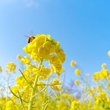 菜の花っていつが見頃?2月に楽しめる菜の花畑6選