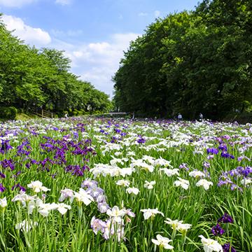6月に楽しめる花は紫陽花だけじゃない!花菖蒲が見られる関東近郊のスポット5選