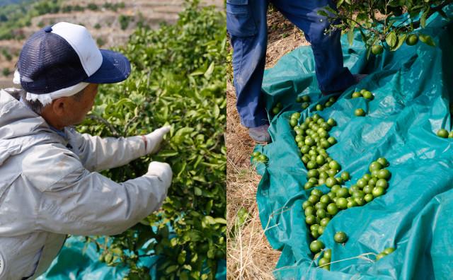 青みかん収穫