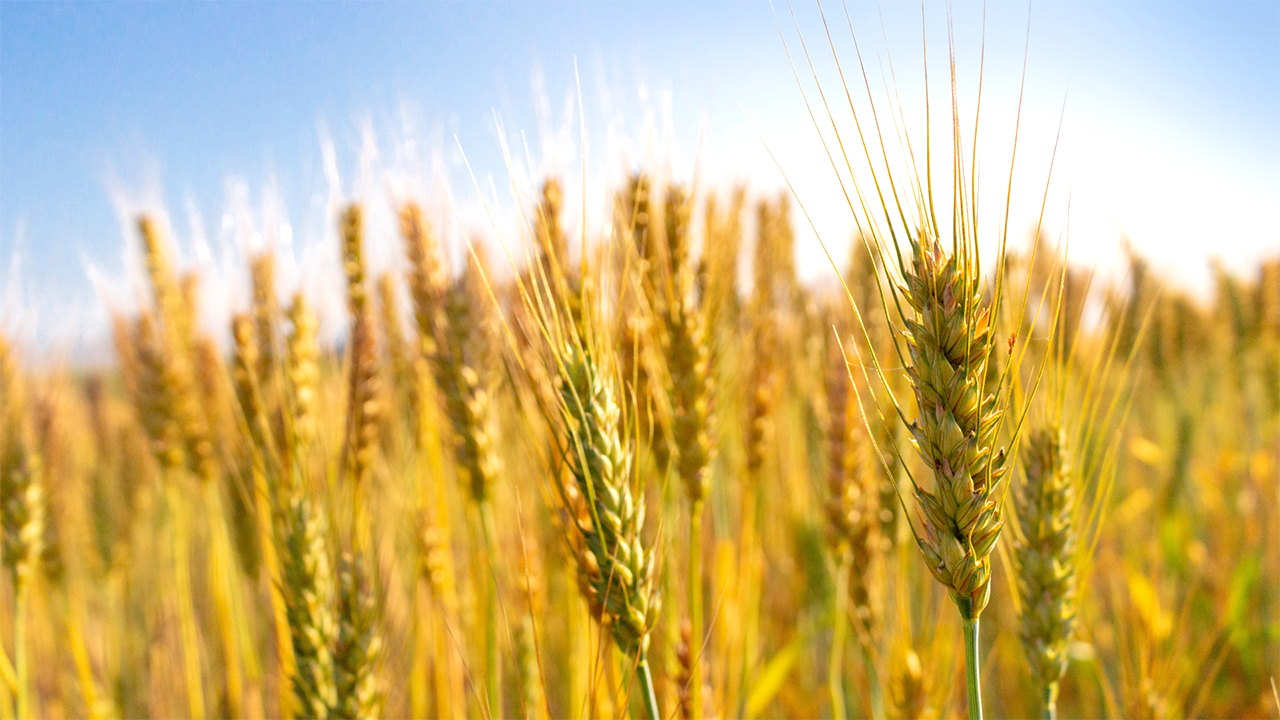 安心安全の国産小麦!