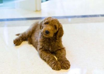 トランプに拒絶された仔犬「パットン」