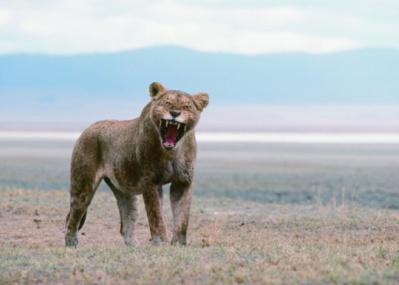 ネコとライオンの共通点と差異を感じる、動物写真家・岩合光昭さんの写真展『ネコライオン』。