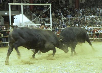 相撲業界はいまだ炎上中ですが、徳之島の牛相撲「闘牛」も燃えています。