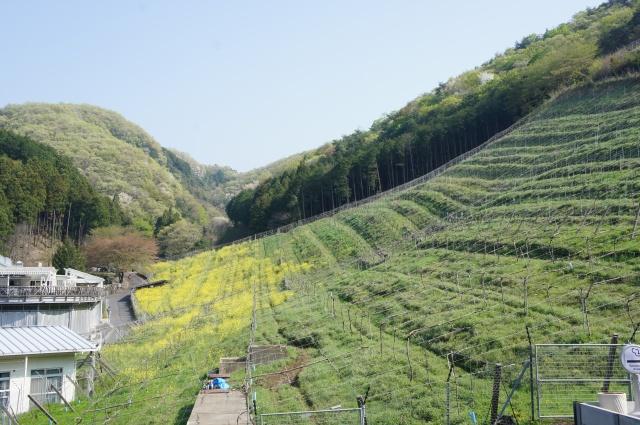 台風にも負けない小粒の強いブドウが、豊かな酸と果実のおいしさを楽しめるワインに。