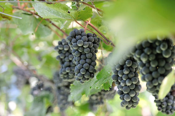 日本ワインの礎を築いた男が、自らブドウを交配してつくった赤。