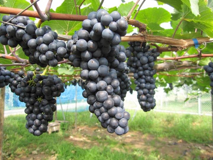 未知の品種にもチャレンジを! 冷涼な地域で育つ、果実味豊かな赤。