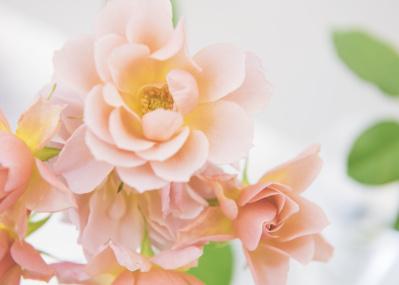 滋賀発のたおやかな和のバラ「WABARA」に、世界が注目し始めています。