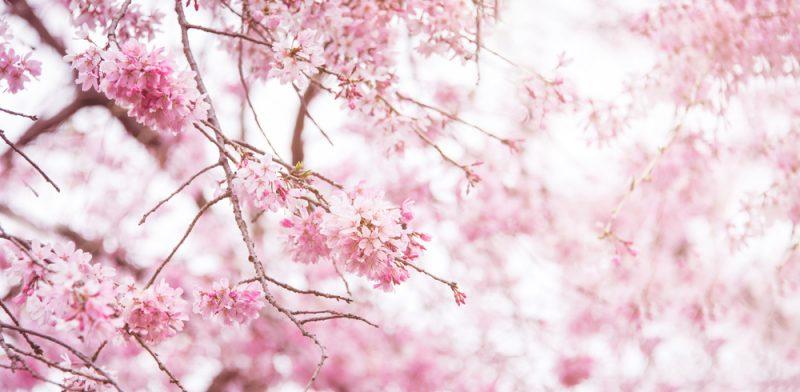 春 結婚式 桜