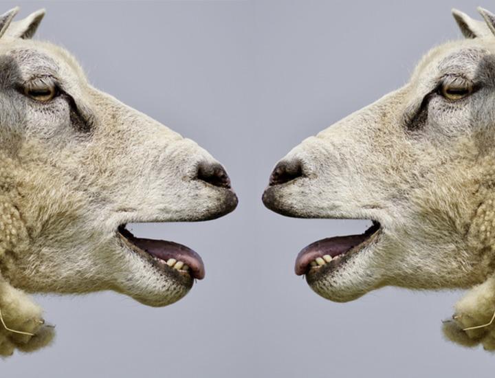 sheep_2372148_1920