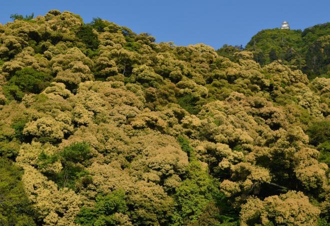 ツブラジイの花が咲き、金色に輝いて見える金華山と岐阜城=2014年5月10日、岐阜市御手洗