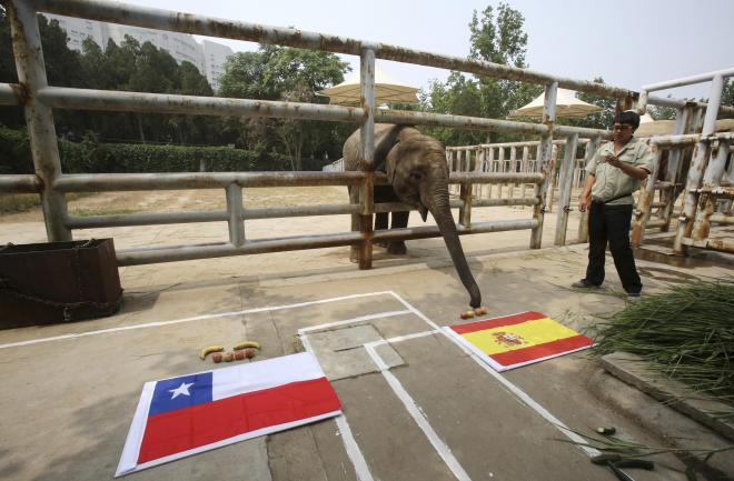 スペイン国旗の前に置かれたエサに鼻をのばすアジアゾウのYalu=ロイター