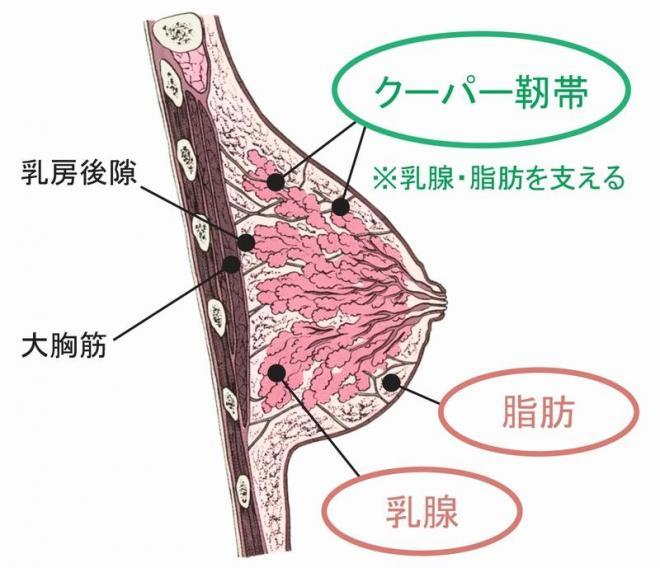 胸の構造。乳腺と脂肪を「骨組み」であるクーパー靱帯が支えている