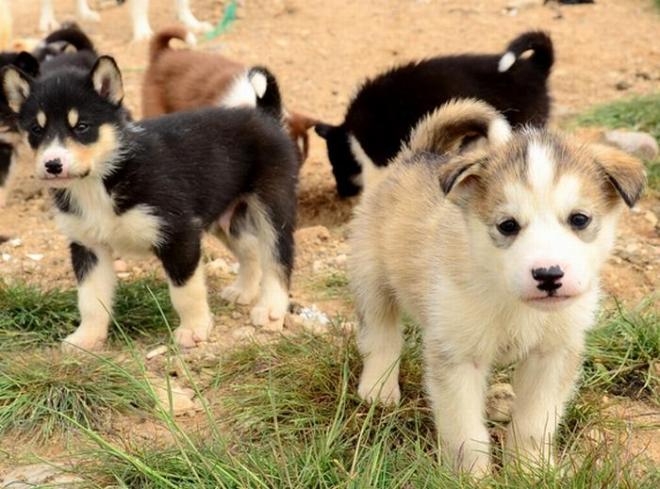グリーンランドの子犬たち