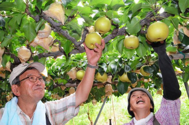 二十世紀梨の収穫作業をする農家=2013年8月23日