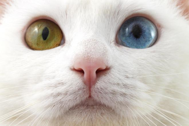 オッドアイ(odd-eyes)は「虹彩異色症」とも呼ばれる
