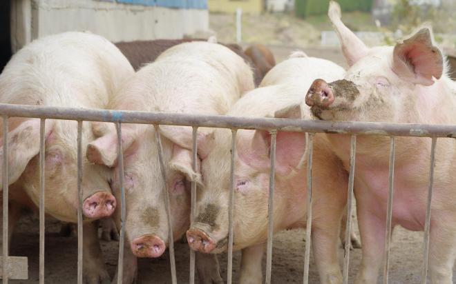 千葉県にはたくさんの豚肉ブランドがある。大消費地が近く、飼料供給基地の鹿島に近いことから大規模な養豚施設が多い。千葉の豚肉生産量は全国第5位。