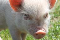 豚の窃盗事件が相次いでいる