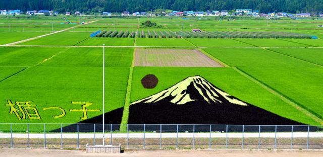 富士山に見えますか? 深緑の稲の中で浮き立つ、田んぼアート。手前は月楯小学校グラウンド=最上町