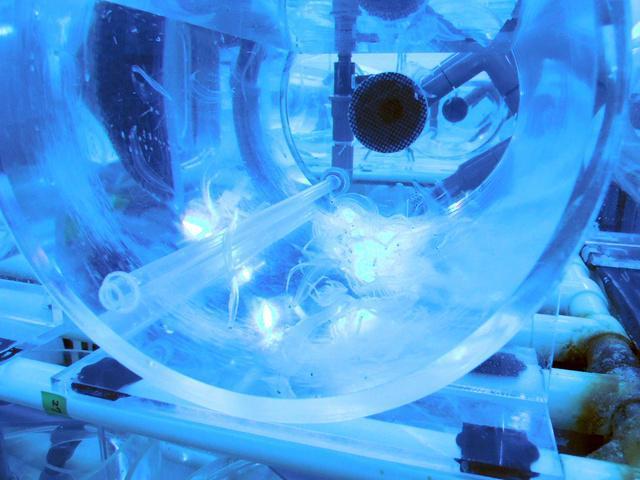 水槽の中でシラスウナギになる前の幼生が育つ。深海に届く光の波長に合わせ、青い照明で照らされている